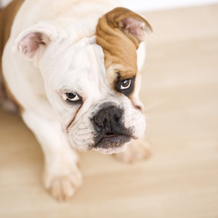 What Flooring Is Best For Dogs What Flooring Is Best For Dogs?