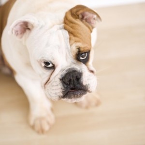 the best hardwood floors for dogs 300x300 The Best Hardwood Floors For Dogs